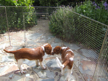 Garden Puppies Frasier Dylan 20090516 3561