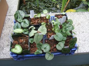 All these Cyclamen came out of that box - each one in its own cardboard tube filled with bubble wrap