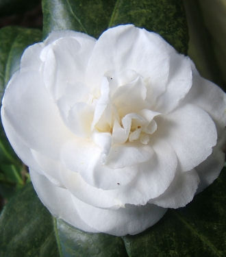 Shrubs gardening and dogs camellia mightylinksfo