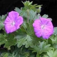 Geranium endressii - Wargrave Pink