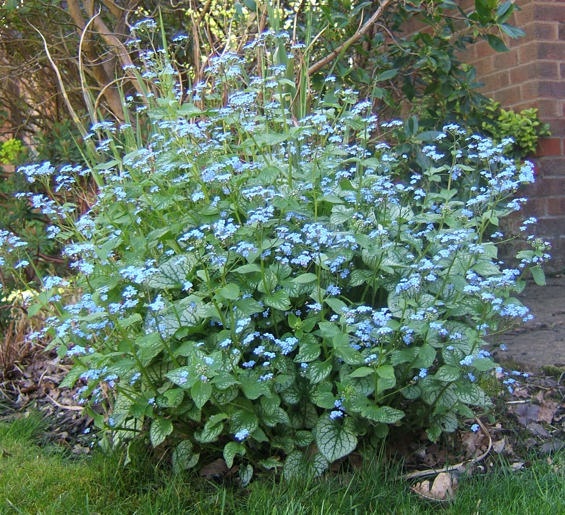 Brunnera Jack Frost Gardening And Dogs