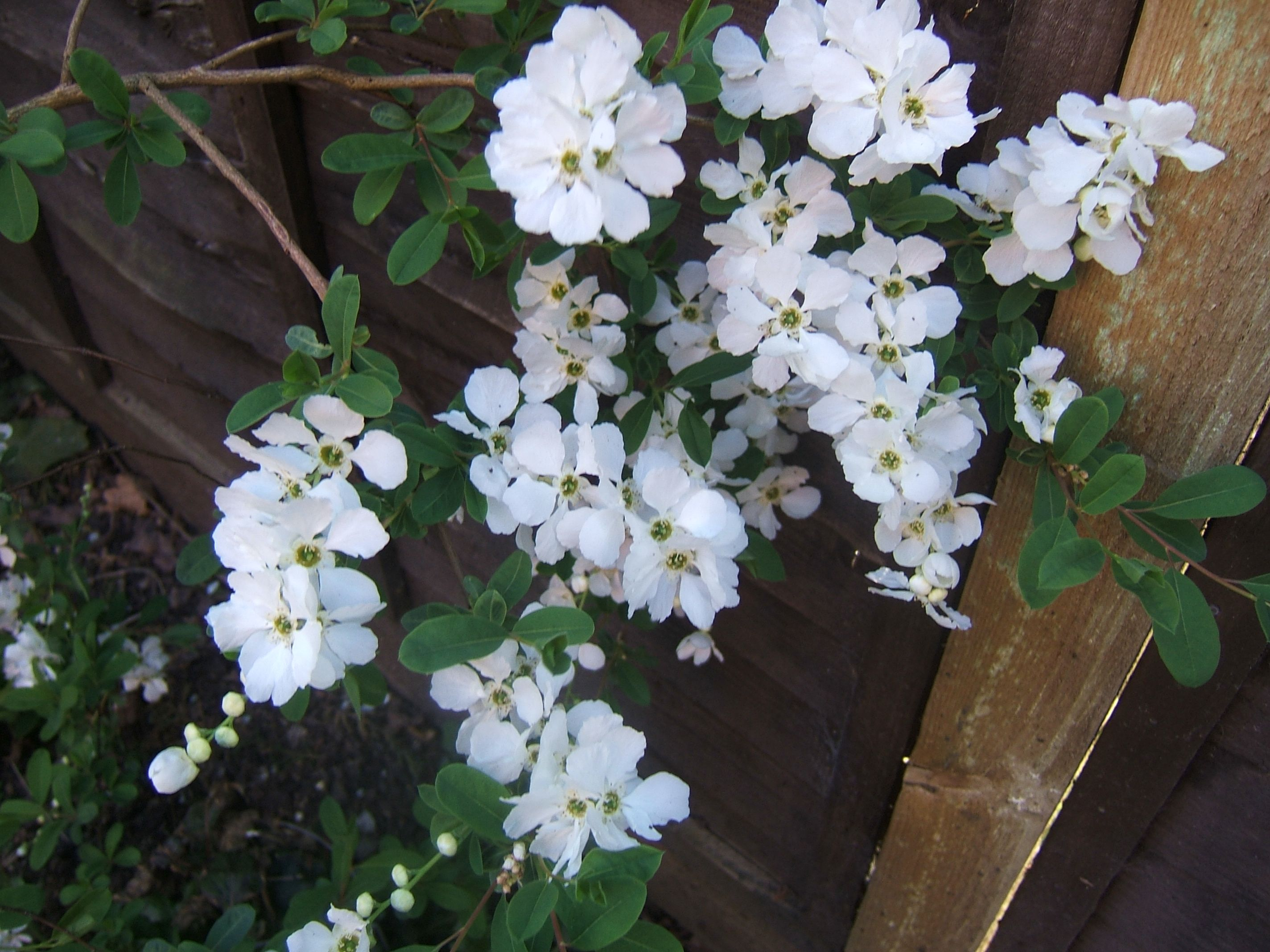 exochorda macrantha the bride gardening and dogs. Black Bedroom Furniture Sets. Home Design Ideas