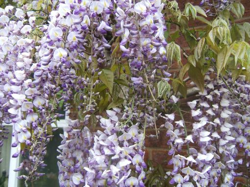 The wisteria should be the star of the show this year