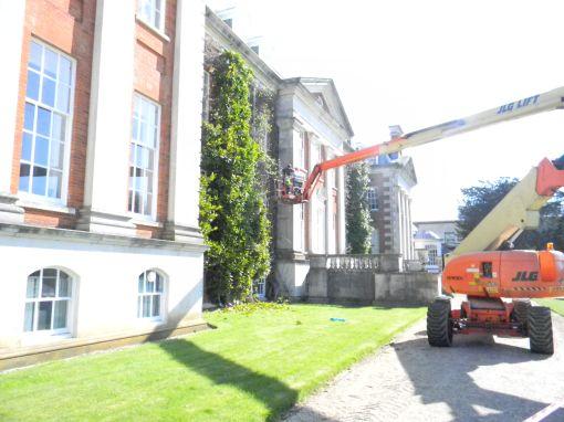 Wisteria industrial pruning