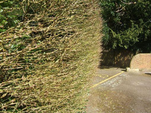 Euonymus europaeus hedge Hursley