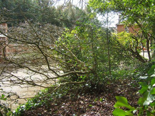 Euonymus europaeus stem Hursley